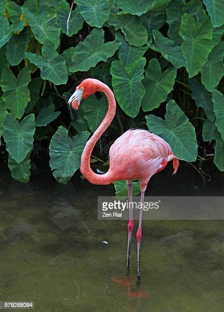 A single pink flamingo standing on wetland with green aquatic vegetation in the background