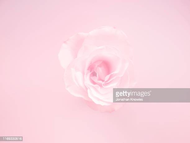 single pink flower - rose colored stock pictures, royalty-free photos & images
