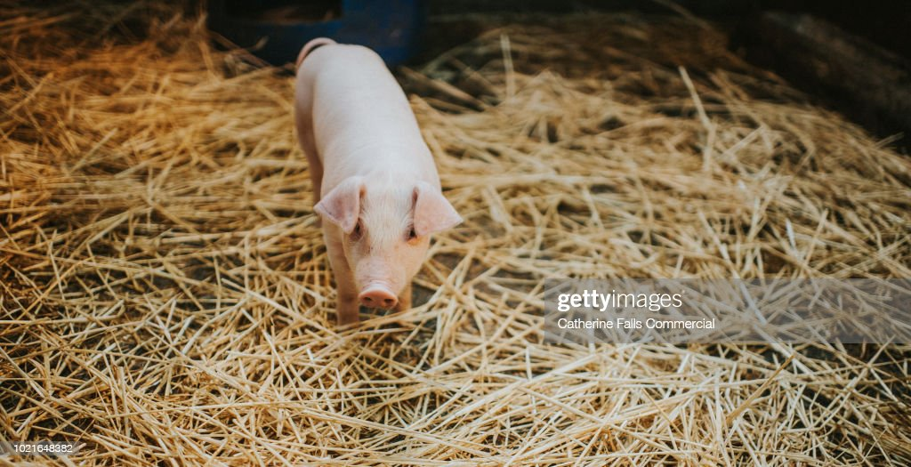 single pink piglet in straw ストックフォト getty images