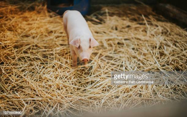 single pink piglet in straw - 雌豚 ストックフォトと画像
