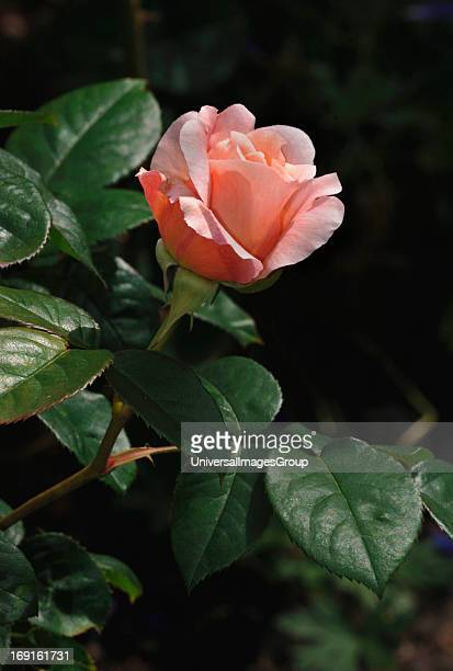 A Single Pink Rose In A Garden Named Sweetheart