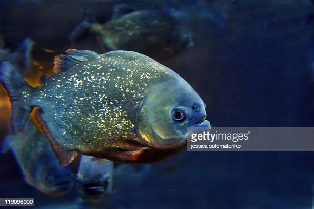 single piranha