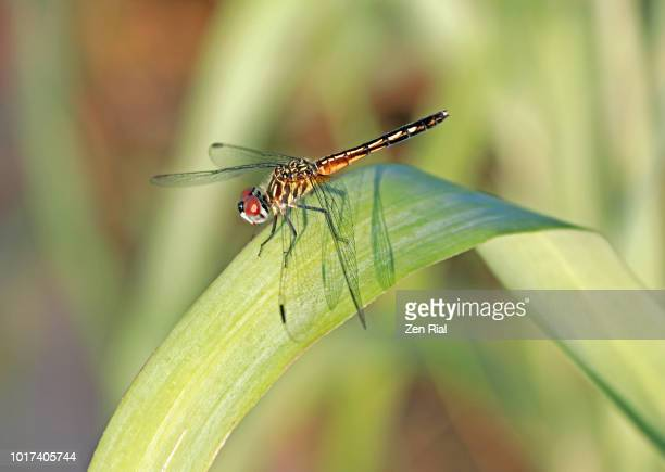 single blade of grass. A Single Plain Looking Dragonfly Perching On Blade Of Grass Under Early Morning Light