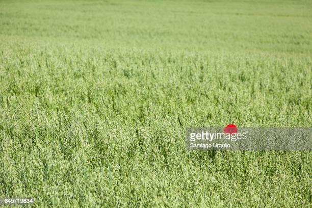 Single poppy flower on a green field