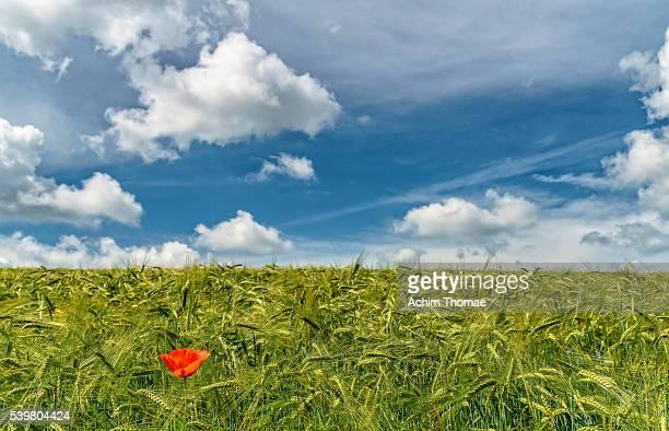 single poppy in wheat field - achim thomae stock-fotos und bilder
