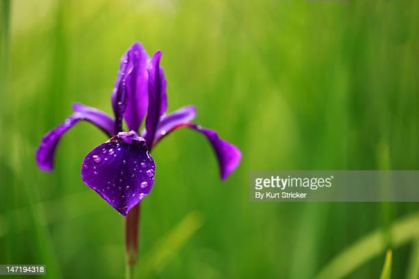 single purple Iris flower
