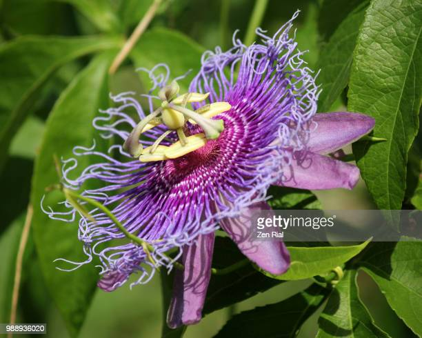 a single purple passion flower - passiflora incarnata - zen rial stock photos and pictures