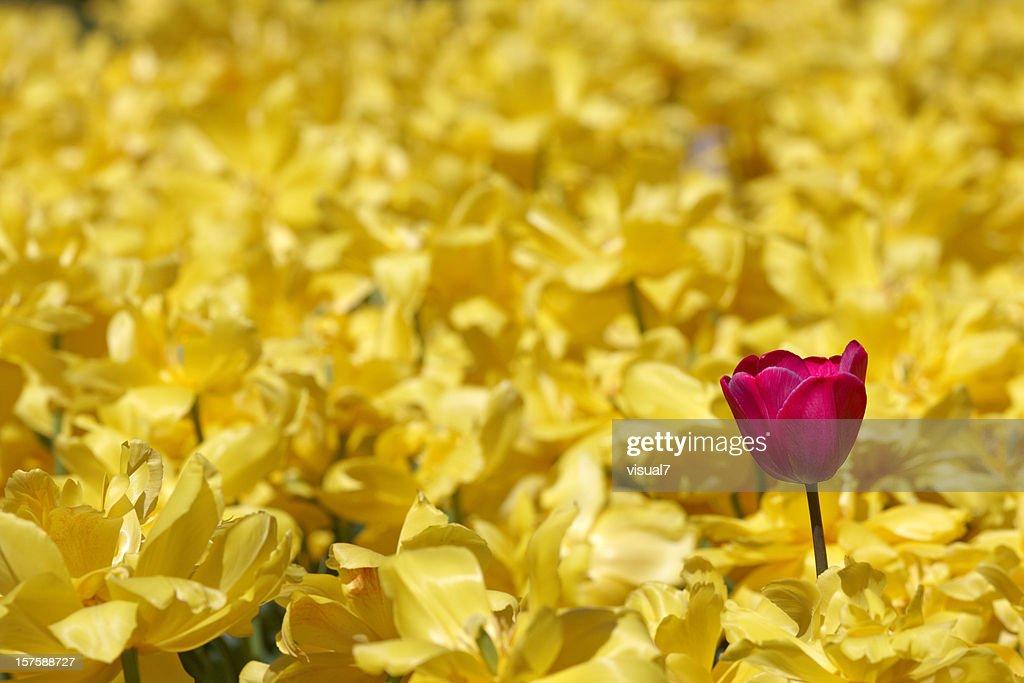 シングルパープルの黄色のチューリップで daffodils : ストックフォト