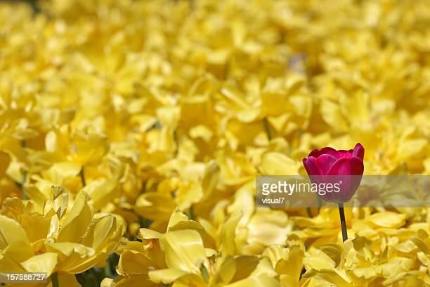 single purple tulip in field of yellow daffodils