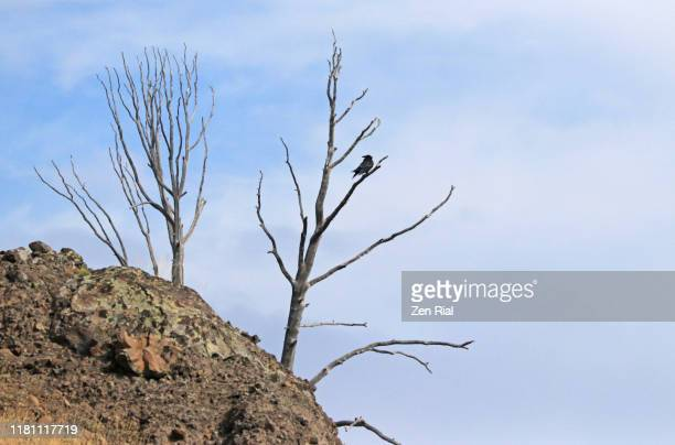 a single raven perching on a bare tree against blue sky - dead raven stock photos and pictures