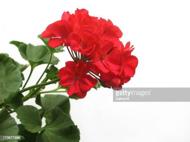 Single Red Geranium