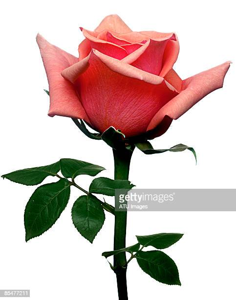 single red pink rose on white - rose photos et images de collection