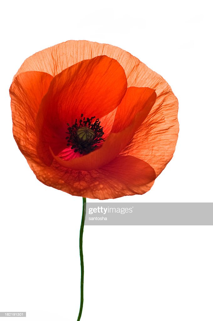 A Single Red Poppy Flower On A White Background Stock Photo Getty