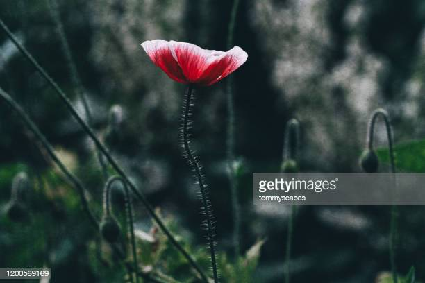 a single red poppy papaver rhoeas stands tall - memorial day background stock pictures, royalty-free photos & images