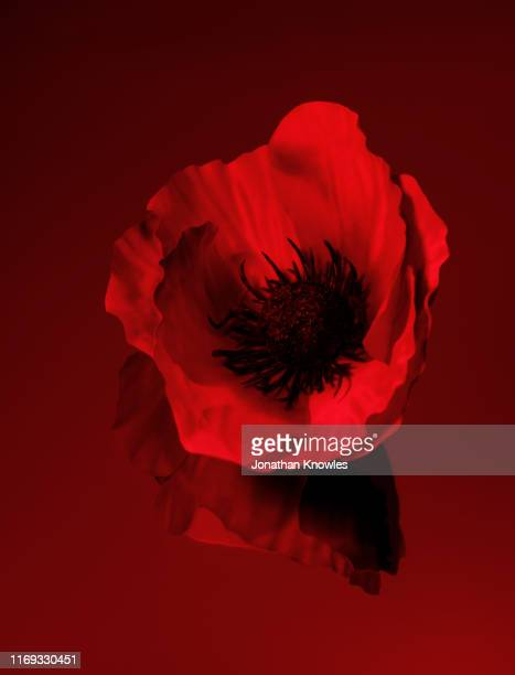 single red poppy - poppy stock pictures, royalty-free photos & images
