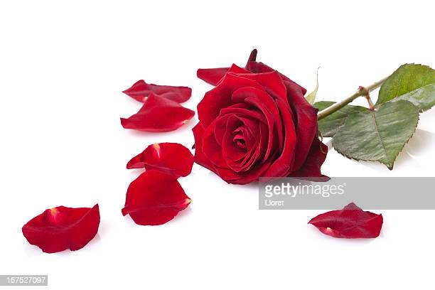 single red rose isolated on white - rose petals stock pictures, royalty-free photos & images