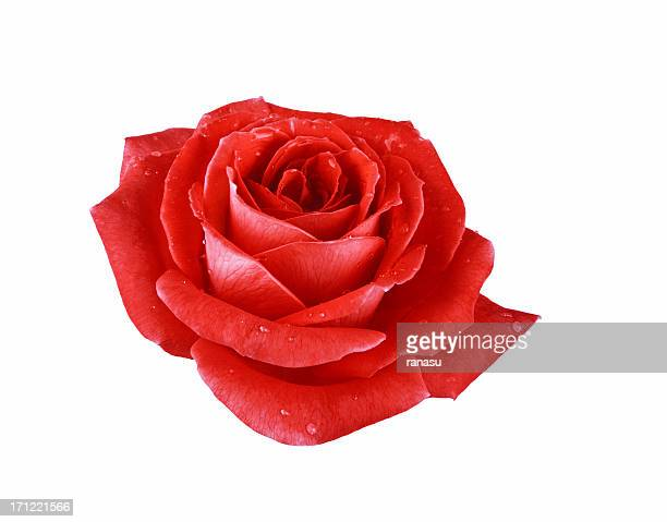 Single red rose isolated