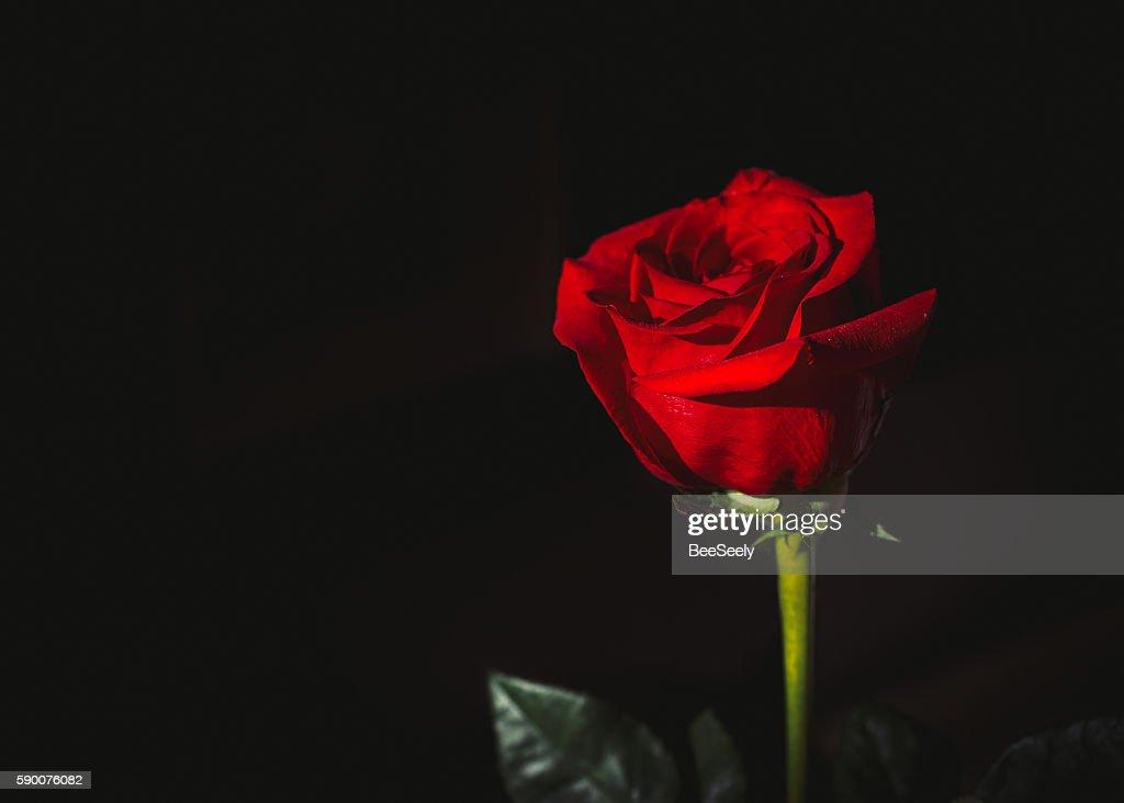 Free red rose black ba...