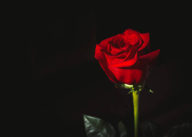 Free Red Rose Black Background Images, Pictures, And