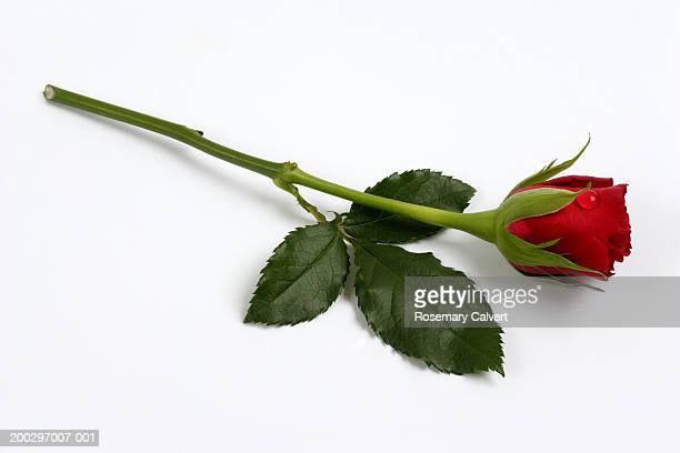Single red rose (Rosa sp.) on white background