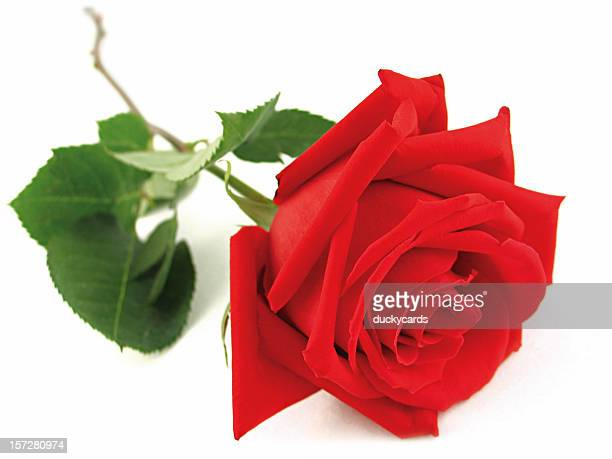 World S Best Single Rose Stock Pictures Photos And Images