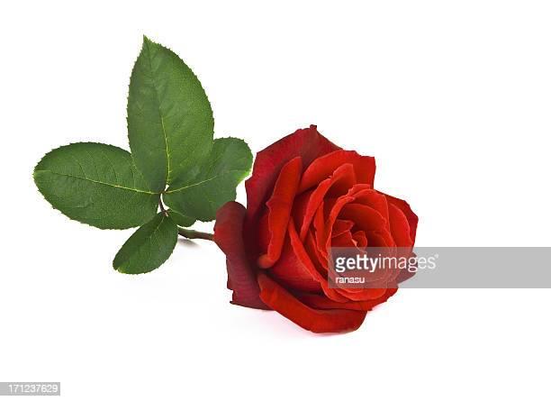 Una red rosas