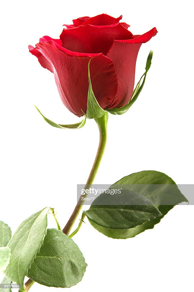 A Single Red Rose With Leaves On A White Background High ...