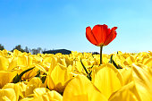 A single red tulip in a field with yellow tulips