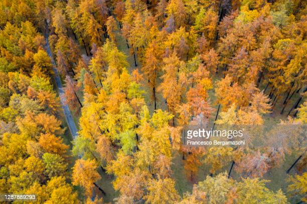 single road in the forest of larches in autumn. - italia stockfoto's en -beelden