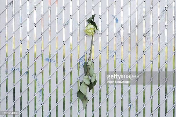 A single rose hangs on a fence near the site of a warehouse fire that has claimed the lives of at least twentyfour people on December 4 2016 in...