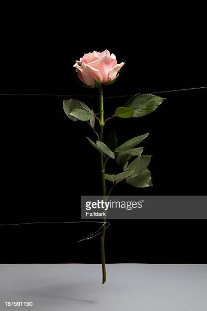 A single rose in mid-air on a black background