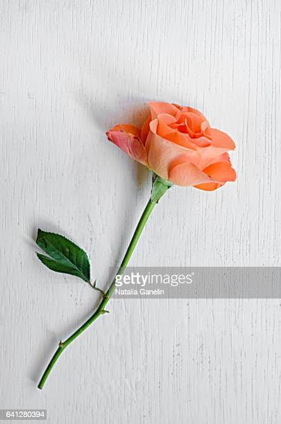 single rose on white painted table - peach flower stockfoto's en -beelden