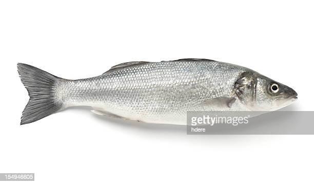 A single sea bass on a white background