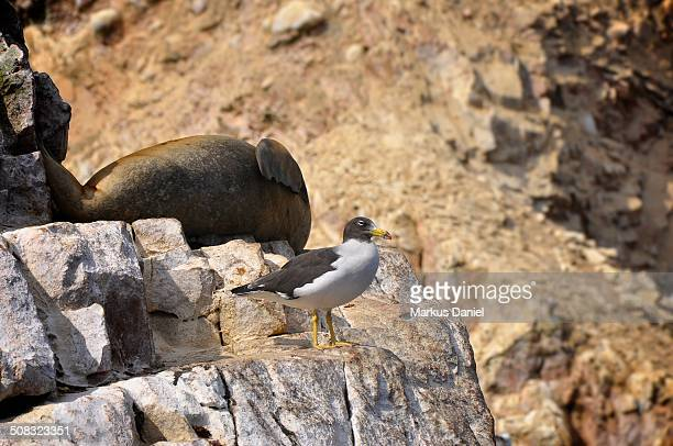 Single Seagull (Laridae) at Ballestas Islands