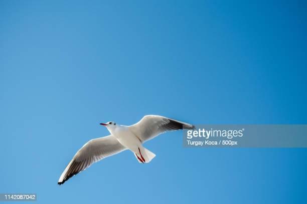 single seagull flying in blue a sky - antarctic sound foto e immagini stock