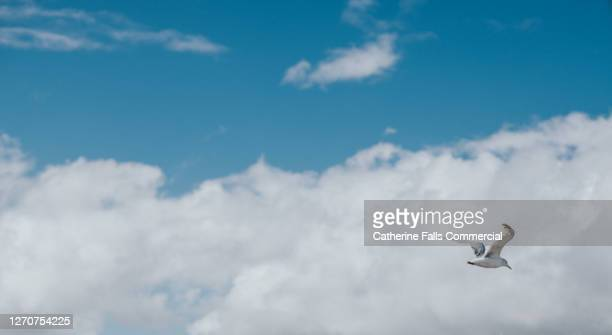 single seagull soaring through a blue sky. background image. - diving to the ground stock pictures, royalty-free photos & images