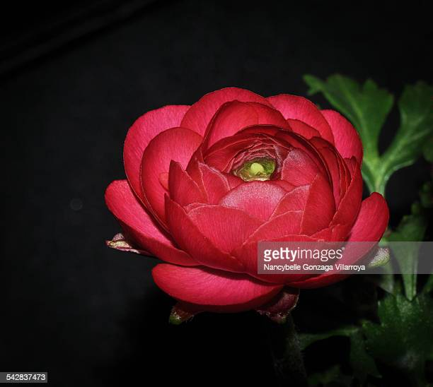 single semi-opened red ranunculus - nancybelle villarroya stock photos and pictures