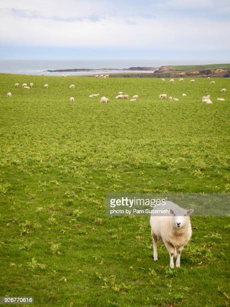 Single Sheep Looking at Camera, South Island, New Zealand