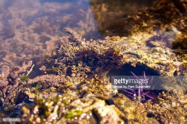 Single Small Purple Sea Urchin Underwater in Hole