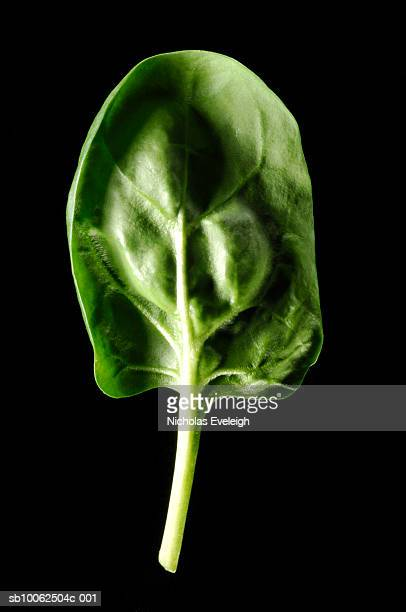 Single spinach leaf on black background