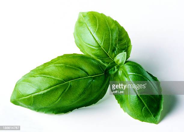 Single sprig of basil