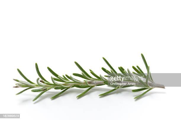 Single Sprig of Fresh Rosemary