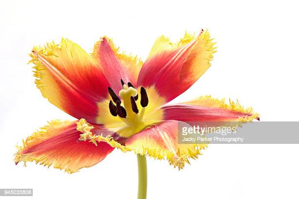 A single, spring flowering, vibrant red and yellow Tulip flower against a white background
