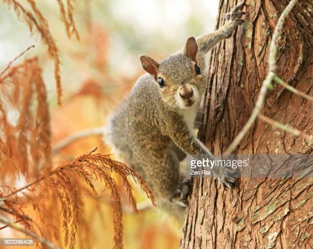 single squirrel on a cypress tree - eastern gray squirrel - sciurus carolinensis - eastern gray squirrel stock photos and pictures