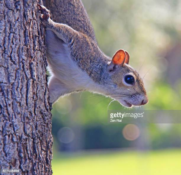 single squirrel on pine tree - eastern gray squirrel - sciurus carolinensis - eastern gray squirrel stock photos and pictures