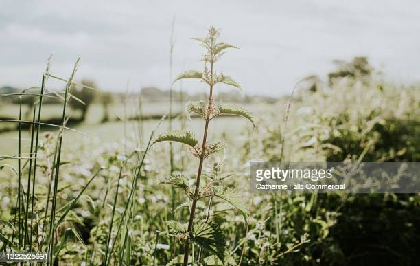 single stinging nettle in sun - grass stock pictures, royalty-free photos & images
