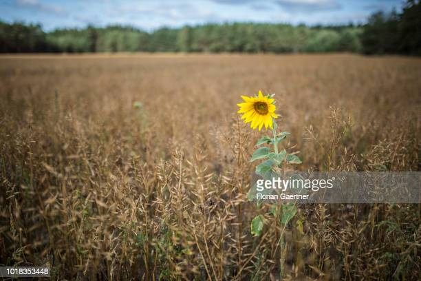 A single sunflower on a field is pictured on August 15 2018 in Boxberg Germany