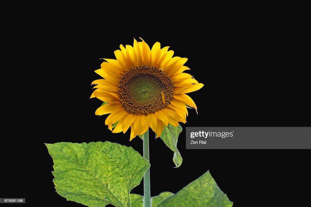 Single Sunflower On Black Background Helianthus Stock Photo