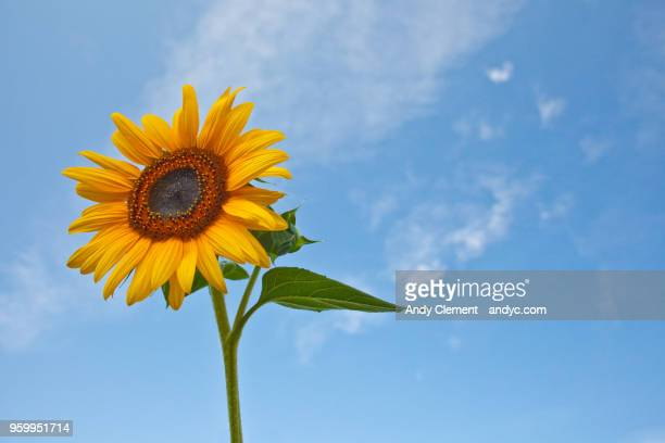single sunflower - andy clement stock pictures, royalty-free photos & images
