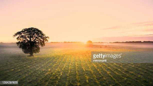single tree at sunrise time on foggy morning. - branch stock pictures, royalty-free photos & images